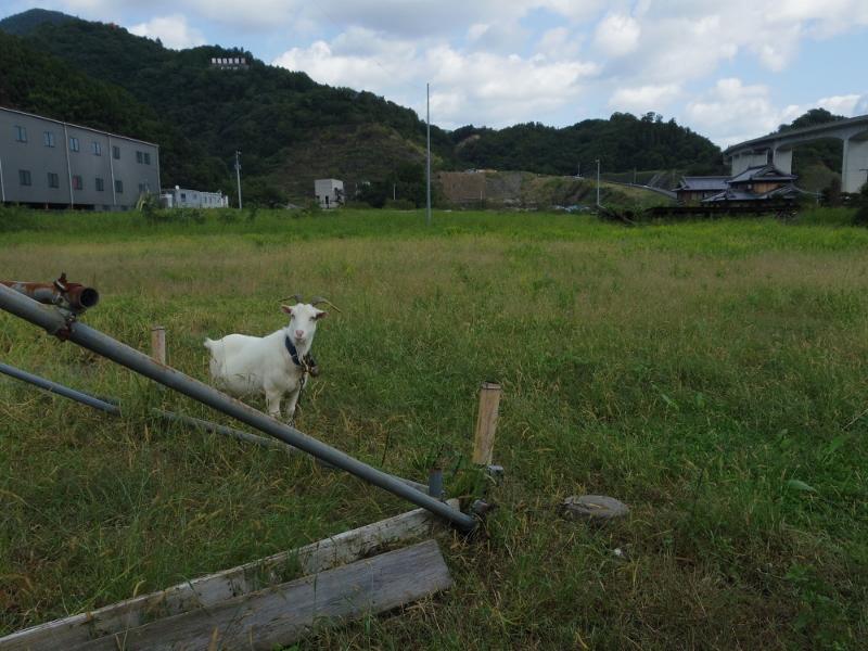 カフェの横の草むらには山羊が!